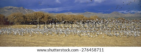 A panoramic of thousands of migrating snow geese and Sandhill cranes taking flight over the Bosque del Apache National Wildlife Refuge, near San Antonio and Socorro, New Mexico  - stock photo