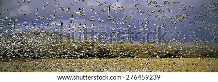 A panoramic of thousands of migrating snow geese taking flight over the Bosque del Apache National Wildlife Refuge, near San Antonio and Socorro, New Mexico  - stock photo