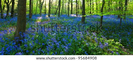 A panoramic view of a bluebell wood at the height of its bloom, with a carpet of bluebells and lush baby green leaves on the trees. Photo taken in Cowleaze wood, Oxfordshire. - stock photo