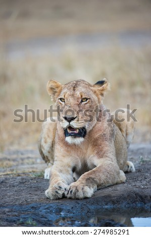 A panting lioness resting beside a small puddle of water - stock photo