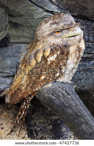 A papuan frogmouth (Podargus papuensis) perching on a log - stock photo