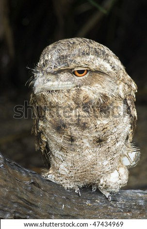 A papuan frogmouth (Podargus papuensis) perching on a log with eyes open - stock photo