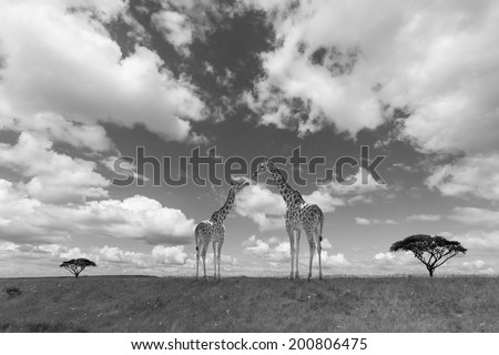 A Parent Giraffe with her Calf in Savannah.Processed in B&W. - stock photo