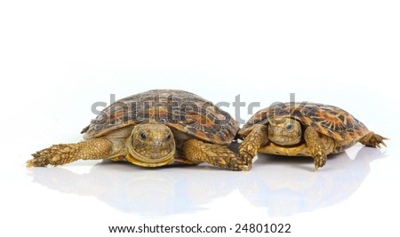 A parent turtle with its young on white - stock photo