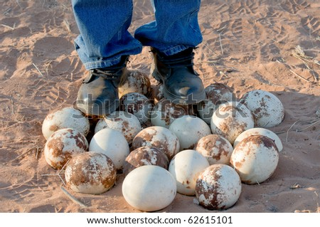 A park guide stands on a group of Ostrich eggs, Namibia - stock photo