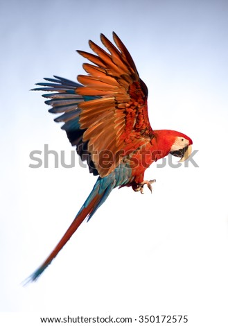 A parrot in flight - stock photo