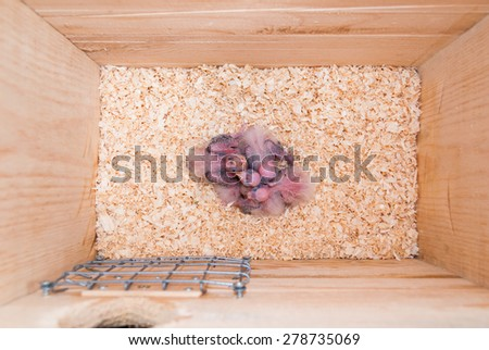 A parrot's nest box with five chicks - stock photo