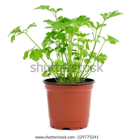a parsley plant in a flowerpot on a white background - stock photo