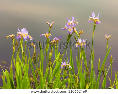 A Pastel Wild Iris in full Spring-time bloom. - stock photo