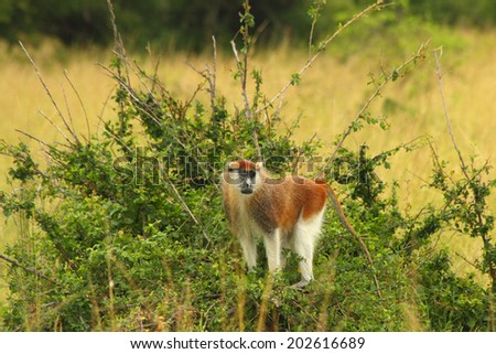 A Patas monkey looks out from a raised position atop a clump of bushes in the Ugandan savanna. - stock photo