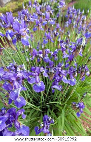 A patch of blue iris'. - stock photo