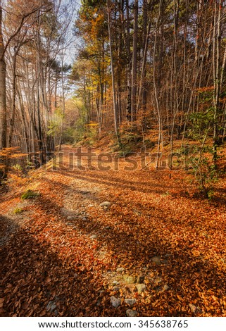 A path of golden autumn leaves and trees on the GR20 trail in a forest at Vizzavona in Corsica