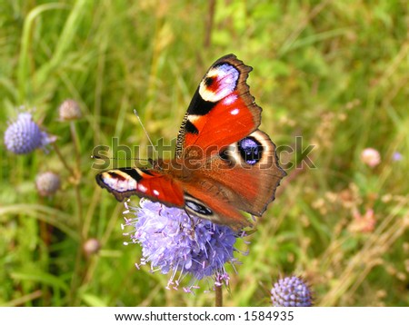 a peacock butterfly - stock photo