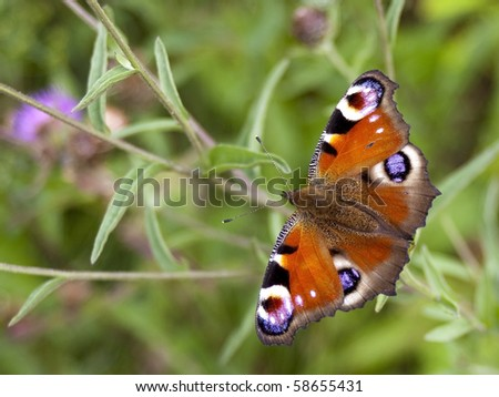 a peacock butterfly inachis io on purple knapweed in summer