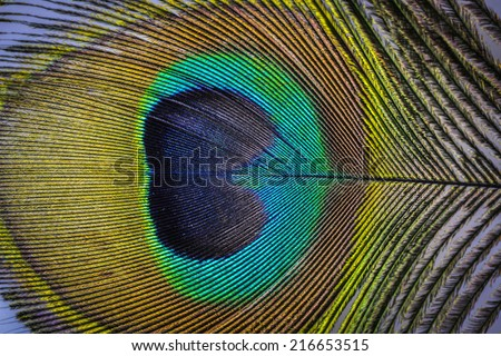 a peacock feather macro photo - stock photo