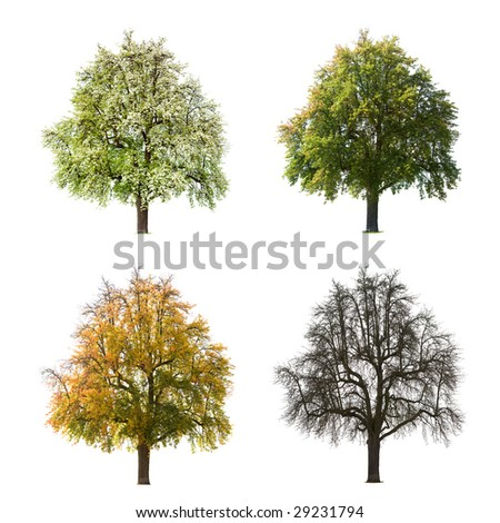 A Pear tree isolated against a white background in different seasons - stock photo