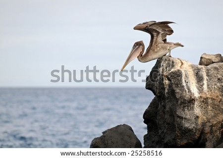 A pelican gets ready to fly and catch the fish. - stock photo