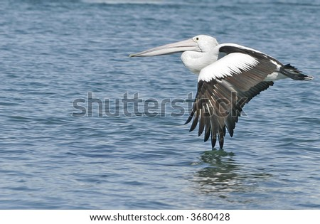 A pelican in flight over a lake at Pelican Waters, Queensland.