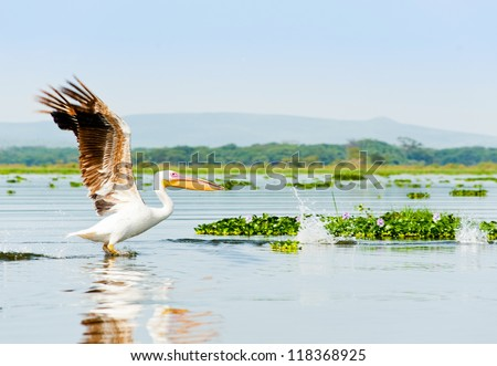 A pelican, Kenya - stock photo
