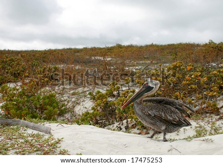 A pelican on sandy with coastal plants in the background. Shot in the galapagos islands. - stock photo