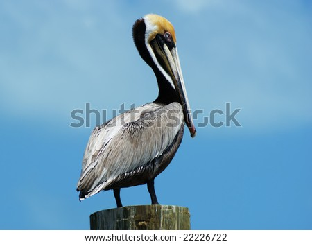 A Pelican resting on a post in the Florida Keys. - stock photo