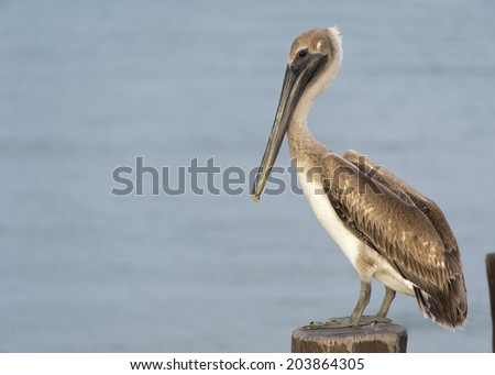 A pelican sits on a pylon post with the sunset on its back and the blue waters behind him. Cozumel, Mexico