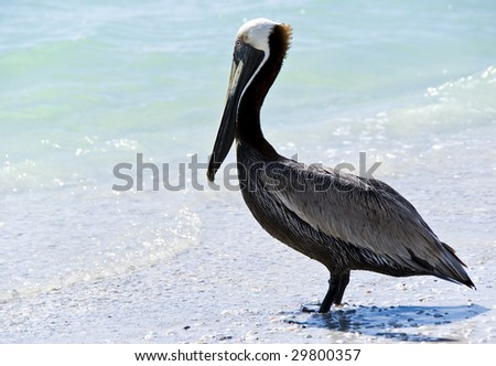 A pelican staring at the turquoise sea, on a beach in Florida - stock photo