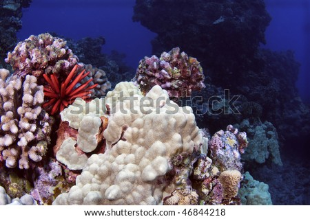 A pencil urchin sitting among coral formations in the South Pacific. - stock photo