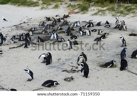 a penguin in the Cape of Good Hope, Cape Town, South Africa - stock photo
