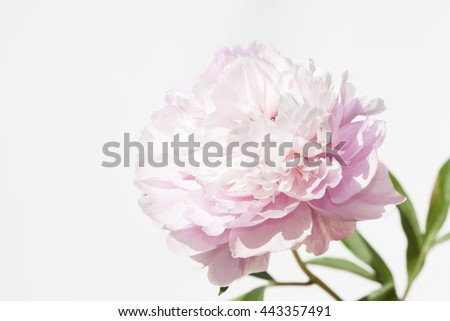 a peony on a white background