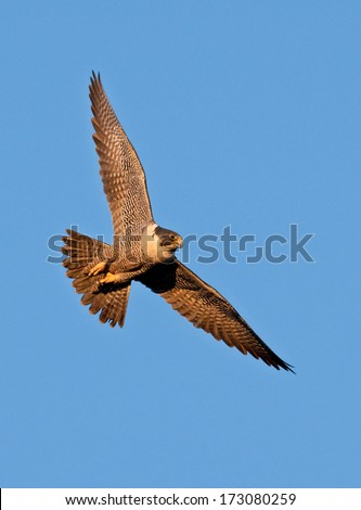 A peregrine falcon banks sharply through the blue sky as the early morning sun casts a warm glow to its plumage. - stock photo