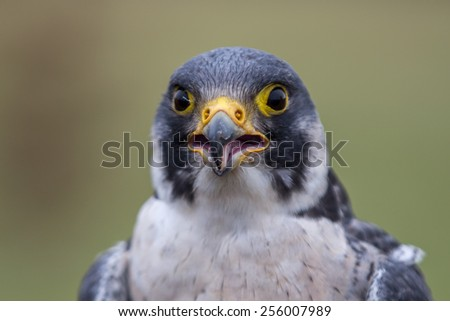 A Peregrine Falcon eyeing it's next meal - stock photo