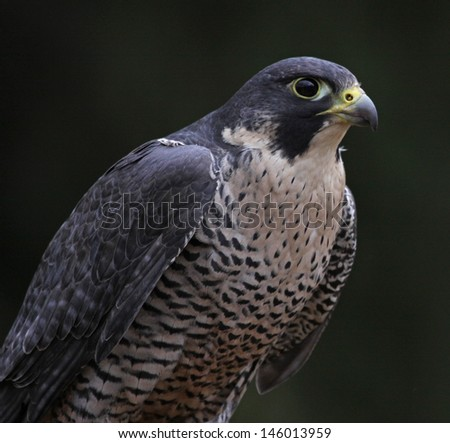 A Peregrine Falcon (Falco peregrinus) perched on a stump.  These birds are the fastest animals in the world.  - stock photo