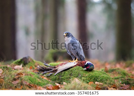 A Peregrine Falcon (Falco peregrinus) watching its prey-pheasant in the forest, wildlife photo. - stock photo