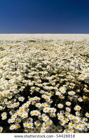 A perfect field of white daisy's under a blue sky