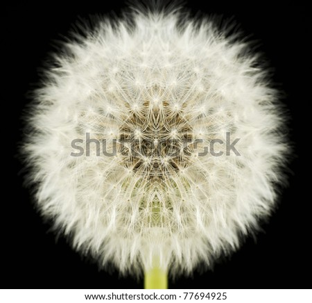 A perfectly symmetrical dandelion. Perfection in nature metaphor. - stock photo