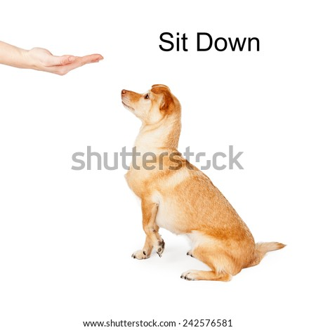 A person giving a hand signal to a little Chihuahua mixed breed dog for the command of sit down - stock photo