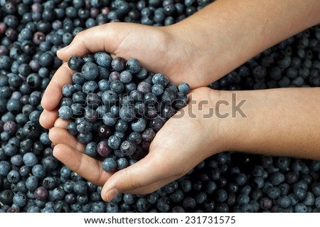 A person holds out a handful of freshly picked organic blueberries/Handful of Blueberries - stock photo