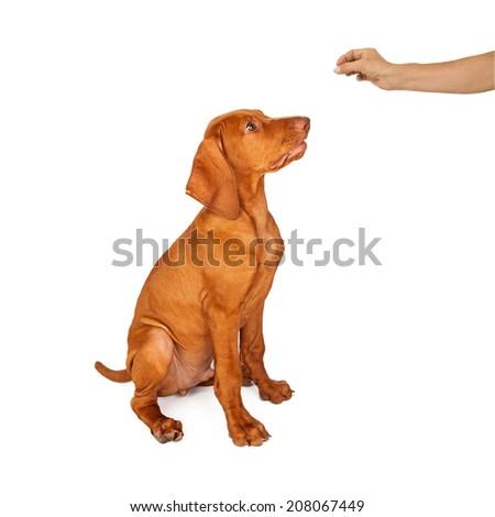 A person holing a treat in their hand while training a young Vizsla breed dog to sit and stay - stock photo