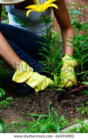 a person in gloves working in the garden with yellow lily - stock photo