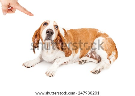 A person shaking a finger at a Basset Hound dog with a guilty expression - stock photo