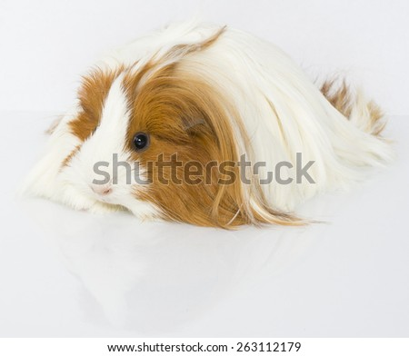 A Peruvian guinea pig on a white background.  - stock photo