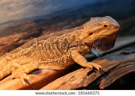 """A pet bearded dragon lizard showing off his """"beard"""".  In the wild they puff up and display this beard to look larger and scarier then they actually are. - stock photo"""