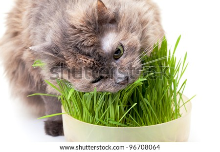 A pet cat eating fresh grass, on a white background.