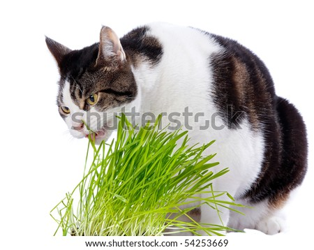A pet cat enjoys eating some fresh grass. On a white background. - stock photo