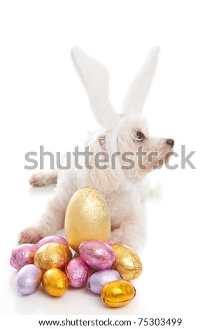 A pet maltese terrier dog wearing white bunny ears and sitting among chocolate easter eggs.  Dog is looking sideways suitable for a message.  White background.