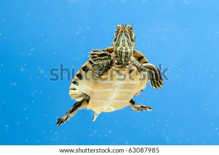 a pet water turtle over blue backdrop - stock photo