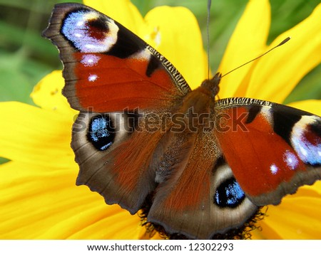 A photo of a beautifull butterfly on a yellow flower. - stock photo