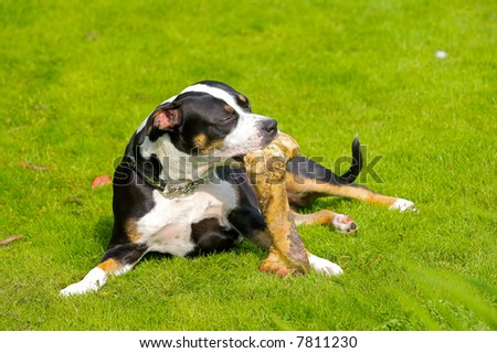 A photo of a dog chewing a  bone - stock photo
