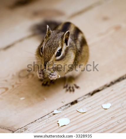 A photo of a domesticated ground squirrel - stock photo